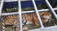 Harimau masuk perangkap warga
